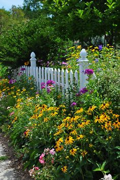 gorgeous black eyed susans and array of color against a white picket fence
