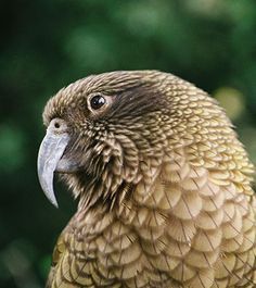 Have a sticky-beak at keas in zoo's new walk-through enclosure - NewsWire.co.nz