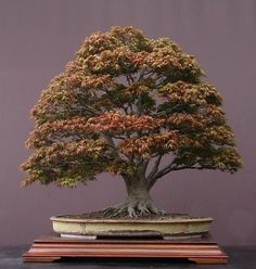 Acer palmatum, Japanese maple  85 cm high  Pot by Derek Aspinall