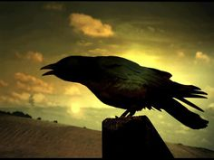 Wherever crows are, there is magic. They are symbols of creation and spiritual strength. They remind us to look for opportunities to create and manifest the magic of life. They are messengers calling to us about the creation and magic that is alive within our world everyday and available to us. -Ted Andrews