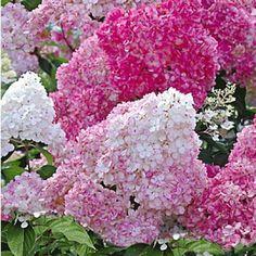 """Freiland-Hortensie """"Vanille Fraise®"""",1 Pflanze"""