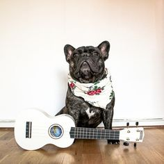 'Boss', the French Bulldog Singing Cowboy, on another 'Fashion Friday'.