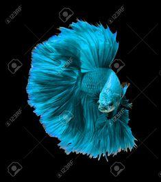 Picture of Blue turquoise dragon siamese fighting fish, betta fish isolated on black background. stock photo, images and stock photography. Pretty Fish, Beautiful Fish, Animals Beautiful, Betta Fish Tank, Beta Fish, Tropical Fish Aquarium, Fish Ocean, Betta Aquarium, Fish Fish