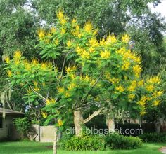 This is my Peltophorum dubium tree in my side yard. 3rd year of blooming (2014) and it has finally covered the whole tree with its glorious yellow blooms.