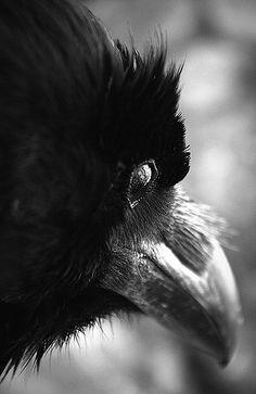 Raven by Nikola Ilić, via Flickr