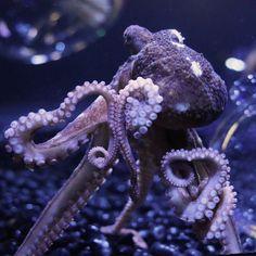 New England Aquarium: octopus