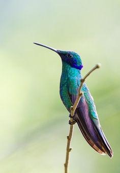 Beija-flor Tesoura (Eupetomena macroura) - Swallow-tailed Hummingbird