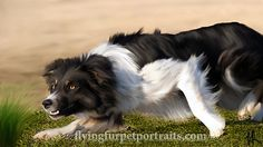 """Working Border Collie--too bad mine's a princess and only """"herds"""" me Collie Breeds, Dog Breeds, Hound Dog, Basset Hound, Cat Paws, Dog Cat, Cattle Dogs, Herding Dogs, Border Collies"""