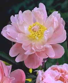 """Paeonia japonica 'Nymph' Exquisite light rose flowers with yellow hearts create a magnificent display in late spring. The foliage forms a handsome mound, very shrub-like. 36"""""""". Zone 4."""