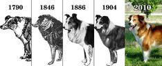 Farm collie/Farm Shepherd dog photo | farm collie history