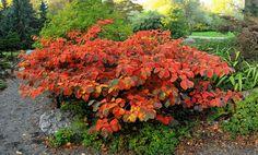 Les hamamelis sont des arbustes discrets au printemps et en été.A l'arrivée de l'automne, leur feuillage, qui ressemble à celui des noisetiers, prend soudainement des couleurs flamboyantes : jaune, doré, orangé, cuivré, rose, rouge... Souvent plusieurs couleurs cohabitent harmonieusement sur une même feuille, formant des tâches, des marges, des dégradés. Plus tard en hiver, une magnifique floraison parfumée prend le relais et attire tous les regards.