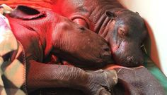 For the love of animals. Pass it on. 2 seperately orphaned rhinos just days old rescued & 5 min after put together they were bonded! //www.thedodo.com/baby-hippo-charlie-friend-1809910840.html?utm_source=The+Dodo+Newsletter&utm_campaign=34d3d8b03105_21_2016_NL&utm_medium=email&utm_term=0_4342b46fc5-34d3d8b031-142024909