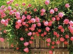 Rosa+Trepadeira.jpg (580×435)