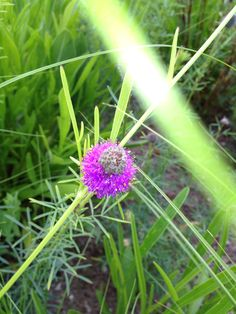 Purple Prairie Clover has a capsule shaped purple blossoom flecked with gold. They're just coming into bloom in the Wildflower Farm garden.