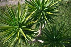 Yucca plants are very adaptable and thrive in a wide range of environments, making them ideal house or garden plants in many parts of the world. There also many varieties of Yucca, so you can choose which you like best.