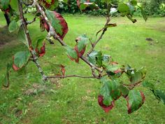 6 Causes of Fruit Trees Diseases