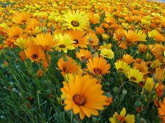 daisies...mellow yellow