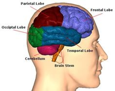Human Intelligence Cannot Be Explained By The Size Of The Brain's Frontal Lobes - Pinned by – Please Visit for all our pediatric therapy pins Occipital Lobe, Occipital Neuralgia, Lóbulo Frontal, Speech Pathology, Speech Therapy, Occupational Therapy, Lesão Cerebral, Cerebral Cortex, Natural Remedies