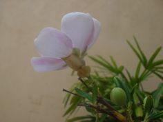 Registrei a evolução da minha linda flor! E no fim da tarde já revelava seu lindo tom lilás ♥