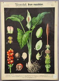 antique botanical wall chart - lords and ladies ca. 1900  e5433 #Vintage