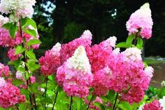 Vanilla Strawberry Hydrangea | First Editions Vanilla Strawberry Hydrangea...conical white flower ...