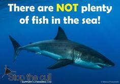 #cull #shark #greatwhite #supportoursharks