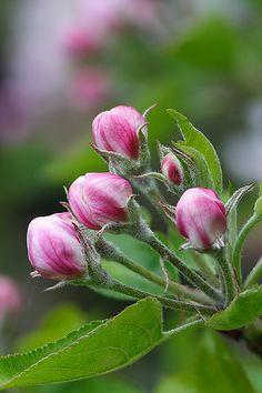 Apple blossom, Lord V via Flickr.