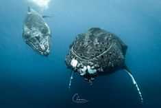 Close encounters by Chun Chau / Animal Photography, Amazing Photography, William Stewart, Close Encounters, Great Shots, Whale, Animals, Asian Dating, Animales