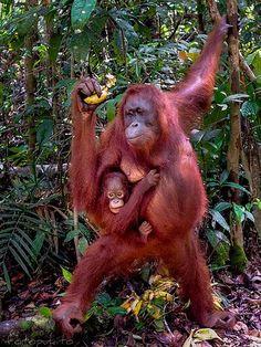 orangutan Borneo - love them Zoo Animals, Animals And Pets, Cute Animals, Mundo Animal, My Animal, Beautiful Creatures, Animals Beautiful, Los Primates, Baby Orangutan