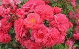 KORDES Rosen Bad Birnbach ® - Floribunda Roses - Complete assortment The most beautiful roses of the world Gardening For Dummies, Gardening Tips, Beginners Gardening, Gardening Books, Kordes Rosen, Floribunda Roses, Secret Garden Book, Garden Images, Blooming Rose