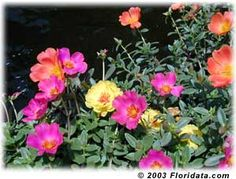 A rainbow of single flowered moss rose stands out against the dark lake water