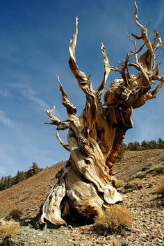 Methuselah, an ancient bristlecone, the world's oldest tree at 4,765 years old, Inyo National Forest, CA.  Photo by Clinton Steeds, via Flickr (http://www.flickr.com/photos/cwsteeds/326157031/#).