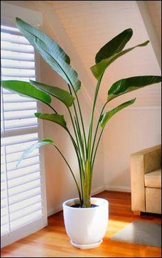 Bird of Paradise: indoor plant (mooi in hoge matwitte pot)