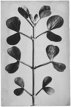 A sculptor & art teacher by profession, Karl Blossfeldt is best known for his beautiful photographs of plants forms. Originally, the photog. Karl Blossfeldt, Botanical Illustration, Botanical Prints, Garden Cactus, Foto Art, Natural Forms, Light In The Dark, Berlin, Art Photography