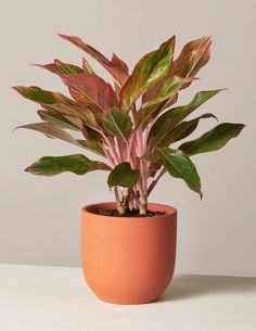 Types Of Plants, All Plants, Live Plants, Potted Plants, Large Indoor Plants, Indoor Trees, Pencil Plant, Birds Of Paradise Plant, Arrowhead Plant