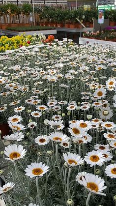 Ein Blumenmeer aus Frühlingsmargeriten! Diese Pflanzen, mit den strahlend weißen Blütenköpfen kommen direkt aus unserer Gärtnerei!  #frühlingsmargerite #leucanthemum #erlebnisgärtnerei #hödnerhof #ebbs #mils #hall #tirol #größtegärtnereitirol #ausflugsziel #pflanzenwelt #frühling #spring Aesthetic Anime, Around The Worlds, Instagram, Plants, Pictures, Road Trip Destinations, Seasons, Flowers, Flora