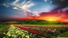 Scenery fields roses sunrises and sunsets clouds nature photo landscape pho Sunset Wallpaper, Scenery Wallpaper, Wallpaper Pictures, Flower Wallpaper, Nature Wallpaper, Hd Wallpaper, Nice Wallpapers, Windows Wallpaper, Wallpapers Android
