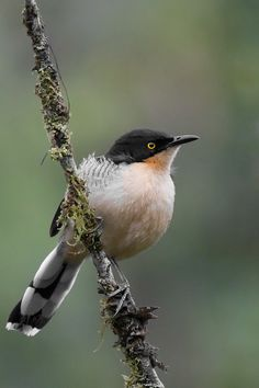 The Black-capped Donacobius (Donacobius atricapilla) is a conspicuous, vocal South American bird. It is found in tropical swamps and wetlands in Argentina, Bolivia, Brazil, Colombia, Ecuador, French Guiana, Guyana, Paraguay, Peru, Suriname, and Venezuela; also Panama of Central America.