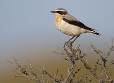 Tapuit / Northern Wheatear