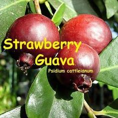 The Strawberry Guava is better suited to the subtropics than is the tropical guava. Strawberry Guava is very adaptable and can be grown outdoors almost anywhere if protected from hard freezes including Zone Cherry Fruit Tree, Fruit Trees, Weird Fruit, Strawberry Guava, Guava Tree, Sensitive Plant, Small Potted Plants, Exotic Fruit, Plant Growth