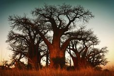 Baobab trees have, in their possession, a number of interesting tales to narrate about itself. Read this Gardenerdy article further to know more about the interesting facts about this tree. Baobab Tree, Okavango Delta, Science And Nature, Succulents, Facts, Sunset, Biology, Outdoor, Image