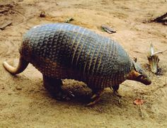 The World's 10 Most Fearless Ants and Termites Hunters ~ Giant Armadillo