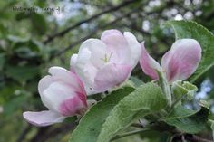 My Photos, In This Moment, Rose, Flowers, Plants, Summer, Pink, Summer Time, Plant
