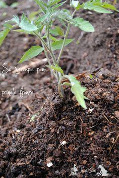 Plantarea rasadurilor de rosii – sfaturi