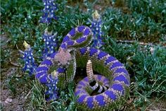 Exhibit A. Previous pinner: Texas Blue Bonnet Rattlesnake Hoax: Blue Rattlesnake is April Fools' Joke. Me: And I'm sure tons of people were amazed and shared it with their friends.