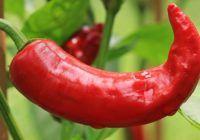 Paprika und Chilis aussäen und anziehen – so geht's richtig