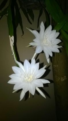 Wijayakusuma flower...bloom only at night    @Bsd city