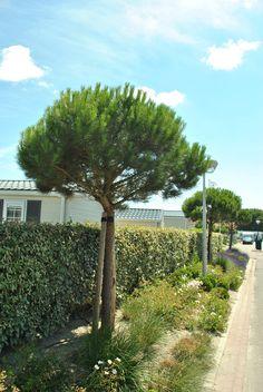 Hoogstam Pinus nigra nigra  Deze boom kan goed tegen de zoute zeewind hier in Zeeland
