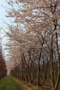 Prunus x yedoensis (Yoshinokers), kleine boom, groeit breed (evt. meestammig), mooie herfstkleur. Rode vrucht verkleurt zwart