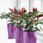 _Capsicum annuum_ 'Apache'. Capsicum Annuum, Chili, Plants, Chile, Plant, Chilis, Pepper, Planets